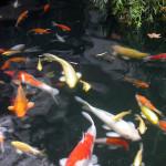 Koi Ponds in Auburn CA