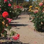 rose garden zone 9 sacramento