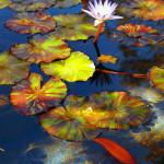Koi Ponds Sacramento Ca
